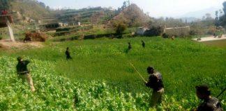 KP police destroy poppy crop spreading over 200 kanal in Swabi