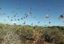 KP Govt allocates Rs33b in budget to cope with locust swarms