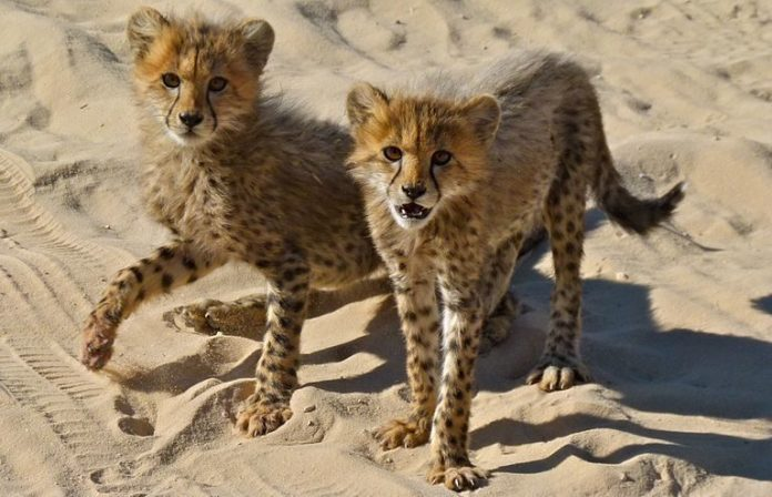 KP Wildlife Department recover two cheetah cubs from house in Orakzai